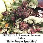 Kål Broccoli Early Purple Sprouting