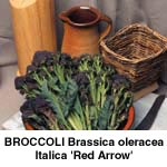 Broccoli Red Arrow