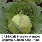 Kål hvidkål Golden Acre Primo (II)