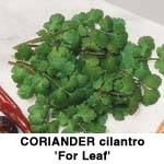 Koriander. Cilantro for Leaf også kaldet Chinese eller Mexican persille