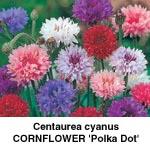 Centaurea cyanus kornblomst Polka Dot