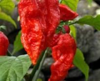 Chili, Bhut Jolokia, ekstra stærke frugter