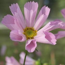 Cosmos Hummingbird, Stolte kavaler, rosa  Pink 45 Cm