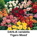 Dahlia variabilis Figaro Mixed