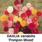 Dahlia variabilis Pompon Mix