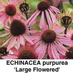 Solhat, Echinacea purpurea Purple Coneflower