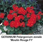 Pelargonium zonale Moulin Rouge F1