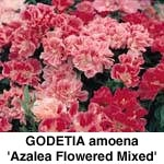 Godetia  Azalea Flowered Mix
