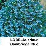 Lobelia erinus Cambridge Blue