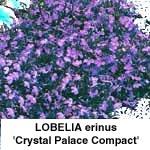 Lobelia erinus Crystal Palace