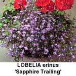 Lobelia erinus Sapphire hænglobelia