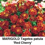 Tagetes patula Red Cherry