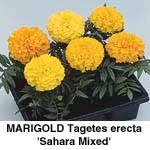 Tagetes erecta Sahara Mix