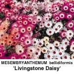 Middagsblomst Livingstone daisy Mixed