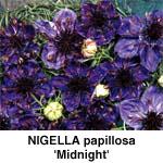 Nigella papillosa Midnight