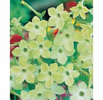 Nicotiana sylvestris sirtobak, Blomstertobak Lime