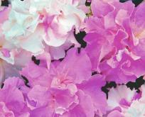 Petunia dobbelt cascade