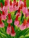 Primula Vialii Orkide-/hyacintprimula