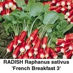 Radis. French Breakfast 3