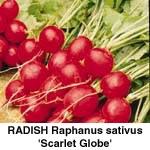 Radis, Scarlet Globe