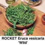 Salat Rucola Vild,