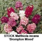 Matthiola incana Brompton Mix