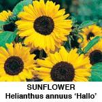Helianthus Solsikke Hallo