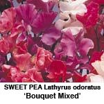 Lathyrus Bouquet Mixed