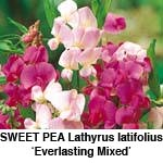 Lathyrus Everlasting Mix