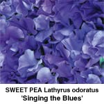 Lathyrus odo Singing The Blues
