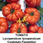 Tomat Costoluto Fiorentino