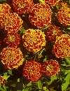 Tagetes Patula Honeycomb
