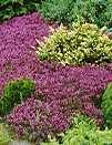 Thymus Serphyllum, Smalbladet Timian