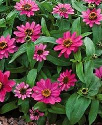 Zinnia Lilac Rose