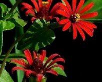 Zinnia Red Spider, Småblomstrende Frøkenkat