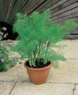 Fennikel Almindelig, Foeniculum vulgare