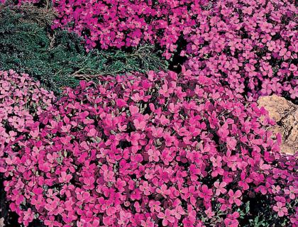 Blåpude, Aubrietia Rich Rose