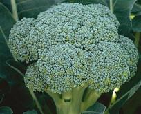 Kål Broccoli Calabrais lang høstperiode