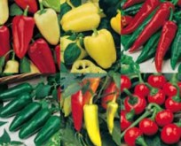 Chili frøpakke. 6 forskellige