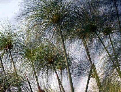 Cyperus Alternifolius, Cyperngræs