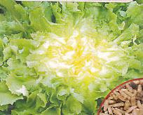 Salat, Endivie, Cichorium endivia