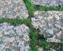 Svingel meget lav flerårig græs. Fåresvingel/bakkesvingel. Til blomsterblandinger. 40g rækker til 5 kvm.
