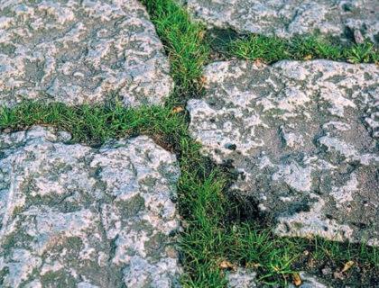 Svingel meget lav flerårig græs. Fåresvingel/bakkesvingel mf. Til blomsterblandinger.