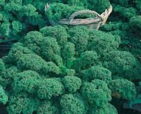 Kål, Grønkål, Dværg Green Curled