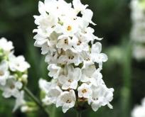 Lavendel Hvid.  'Elegance Snow'