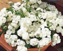 Floks Hvid. Phlox White Beauty, potteplante. Lav