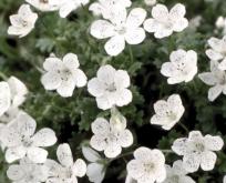 Øjeblomst Hvid. Nemophila Snowstorm.