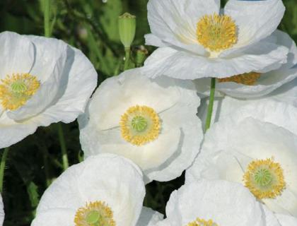 Kornvalmue hvid. Blomstrer juni august. 50 cm