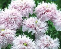 Valmue Papaver pæomvalmue Lilac Pompom