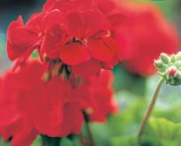 Pelargonie. Pelargonium Scarlet Orbit F:1